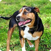 American Bulldog/Rottweiler Mix Dog for adoption in Andover, Connecticut - BUTCH
