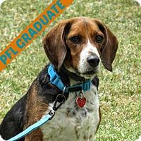 Adopt A Pet :: Darwin - Santa Monica, CA