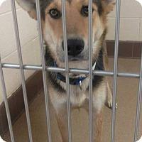 Adopt A Pet :: Maverick - Las Vegas, NV