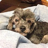 Adopt A Pet :: Popeye - Windermere, FL