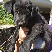 Labrador Retriever Mix Puppy for adoption in Forked River, New Jersey - Misty