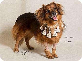 Dachshund Mix Dog for adoption in Sherman Oaks, California - Arlo
