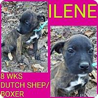 Adopt A Pet :: ILENE - Pomfret, CT