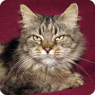 Domestic Mediumhair Cat for adoption in Madison, Indiana - Lolly