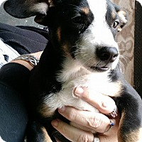 Corgi/Beagle Mix Puppy for adoption in Macomb, Illinois - Shel