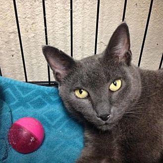 Domestic Shorthair Cat for adoption in Yardley, Pennsylvania - Gypsy