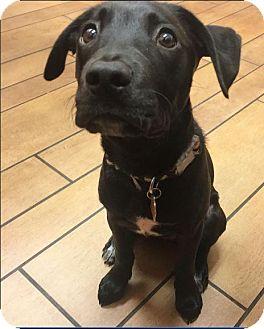 Labrador Retriever Mix Dog for adoption in Sunnyvale, California - Chase
