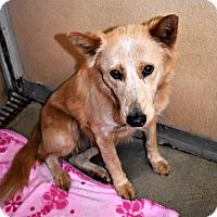 Adopt A Pet :: Aust. Cattle Dog/Shep fem X - San Jacinto, CA