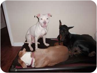 Pit Bull Terrier/American Staffordshire Terrier Mix Dog for adoption in Chicago, Illinois - Rose
