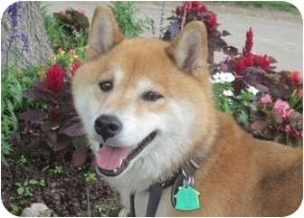Shiba Inu Dog for adoption in Round Lake, Illinois - Haku (Oklahoma)