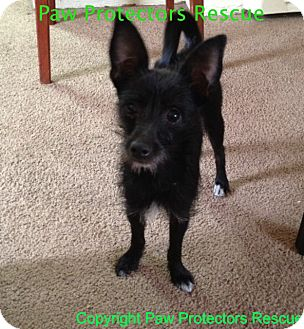 Chihuahua/Terrier (Unknown Type, Small) Mix Dog for adoption in Oceanside, California - Bella