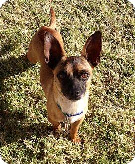 Chihuahua Mix Dog for adoption in Las Vegas, Nevada - Oscar