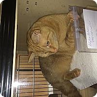 Adopt A Pet :: Simba - Clay, NY