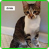 Adopt A Pet :: Ernie - Miami, FL