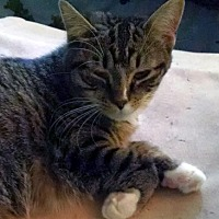 Domestic Shorthair Cat for adoption in Toledo, Ohio - Kona