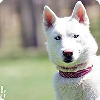 Adopt A Pet :: Sierra - Horsham, PA