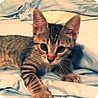 Adopt A Pet :: Lulu-PetSmart Kitty - Scottsdale, AZ