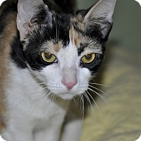 Adopt A Pet :: GLOW * Most lovable kitty ever - New Smyrna Beach, FL