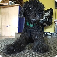 Adopt A Pet :: Frenchy - Austin, TX
