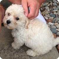 Adopt A Pet :: Lhasa/Bichon puppies - Fairview Heights, IL