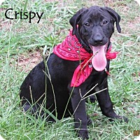 Adopt A Pet :: Crispy in CT - Manchester, CT