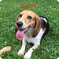 Adopt A Pet :: DAISY - Ventnor City, NJ