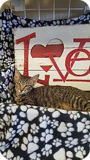 Domestic Shorthair Kitten for adoption in Houston, Texas - ROSS