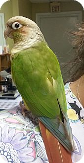 Conure for adoption in Lexington, Kentucky - Mango