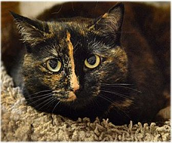 Domestic Shorthair Cat for adoption in Milford, Massachusetts - Maureena