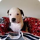 Adopt A Pet :: Big Cass