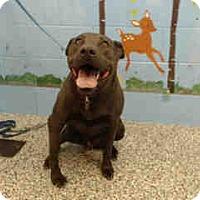Labrador Retriever Mix Dog for adoption in San Bernardino, California - URGENT on 9/13 SAN BERNARDINO