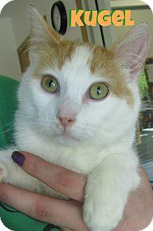 Domestic Shorthair Cat for adoption in Menomonie, Wisconsin - Kugel