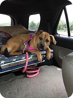 Labrador Retriever/American Pit Bull Terrier Mix Dog for adoption in oklahoma city, Oklahoma - Finley