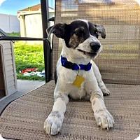 Adopt A Pet :: Yankee - Salt Lake City, UT