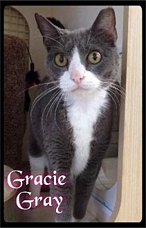 Domestic Shorthair Cat for adoption in Maumelle, Arkansas - Gracie Gray - Foster / 2014