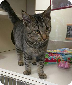 """Domestic Shorthair Cat for adoption in Ottawa, Kansas - Tigger """"Fully Sponsored"""""""