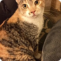 Domestic Shorthair Cat for adoption in Sherman Oaks, California - Waffle