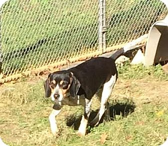 Beagle Mix Dog for adoption in Dumfries, Virginia - Raven