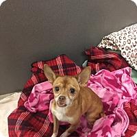 Adopt A Pet :: Abigail - Gardnerville, NV