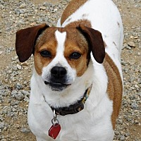 Beagle Mix Dog for adoption in Spartanburg, South Carolina - Cashew