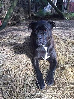 Labrador Retriever/Boxer Mix Dog for adoption in Pt. Richmond, California - CHLOE