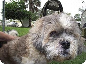 Lhasa Apso Mix Dog for adoption in Brooksville, Florida - Baxter
