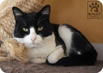 Domestic Shorthair Cat for adoption in Lancaster, Massachusetts - Louie
