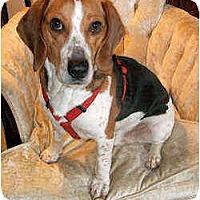 Adopt A Pet :: Pinto - Novi, MI