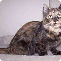 Adopt A Pet :: Munchkin - Colorado Springs, CO