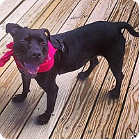 Pit Bull Terrier Mix Dog for adoption in New York, New York - Cleo