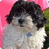 Adopt A Pet :: Zircon - Simi Valley, CA