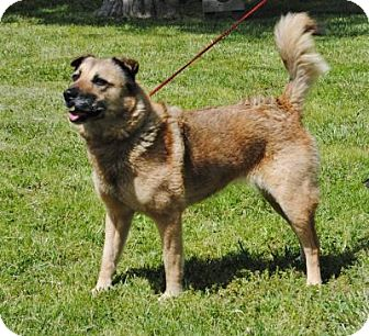 Shepherd (Unknown Type)/Husky Mix Dog for adoption in Parsons, Kansas - Cindy