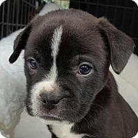 Adopt A Pet :: Merv - Manhattan, NY
