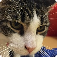 Domestic Shorthair Cat for adoption in Hudson, New York - Mark